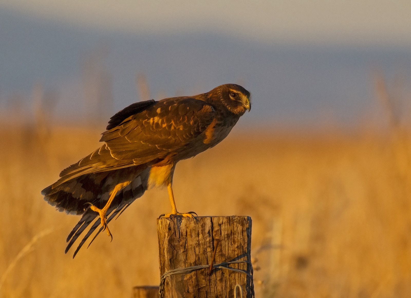 Friends of Malheur Wildlife Refuge - Northern Harrier