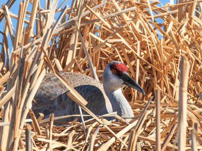 Friends-of-Malheur-NWR-sandhill crane