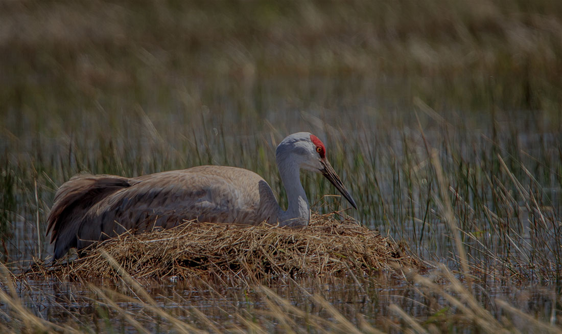 Malheur-Friends-greater-sandhill-crane-nest