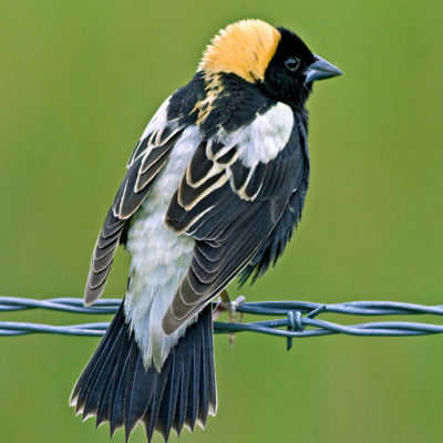 Projects - Bobolink