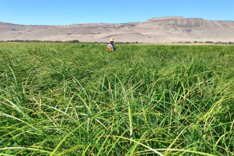 Intern collecting vegetation samples in wide open field of sedges and grass well over 4 feet tall.