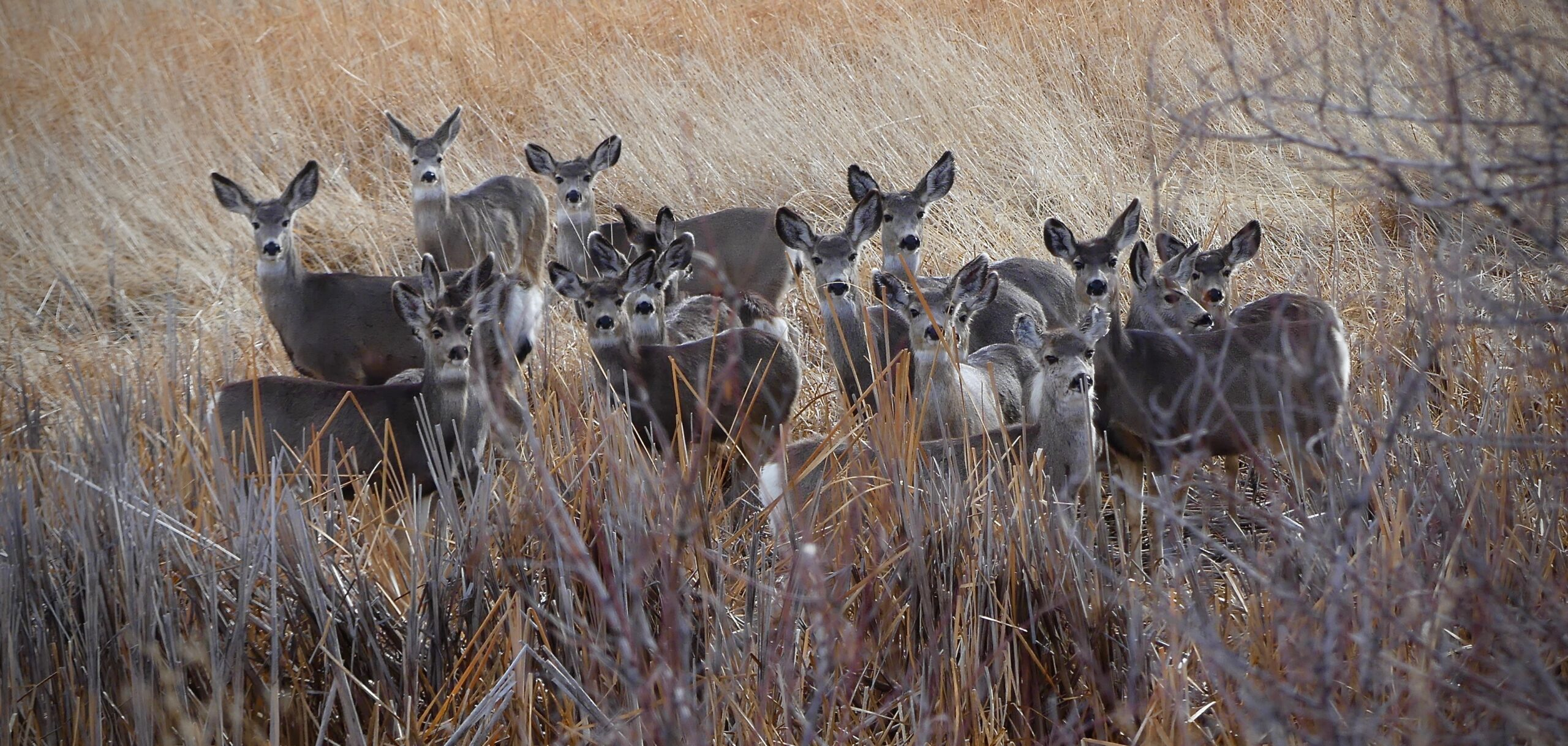 Herd of over 12 mule deer are huddled together tightly with tall, dormant vegetation surrounding them. All of the deer are looking directly at you.