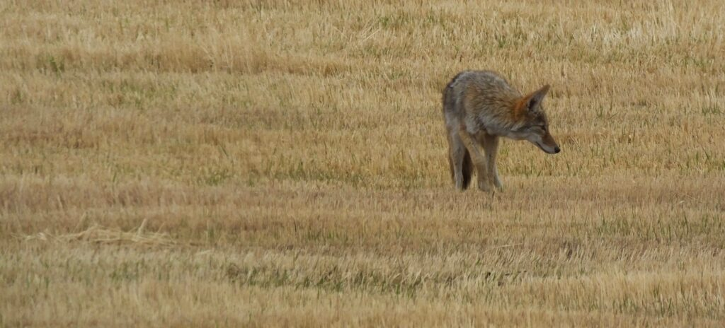 Adult coyote with grey and rusty red fur walks through open field of golden brown grasses.