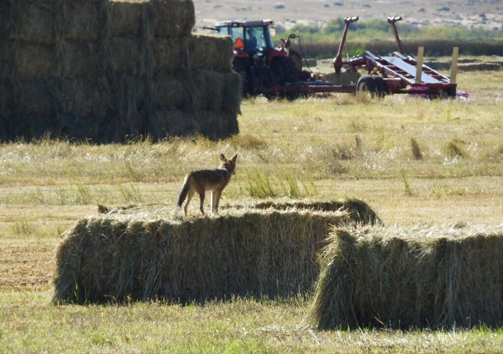 In a field of farm equipment and stacks of bailed hay, a lone coyote surveys stands on a short stack of bailed hay and looks over the field.