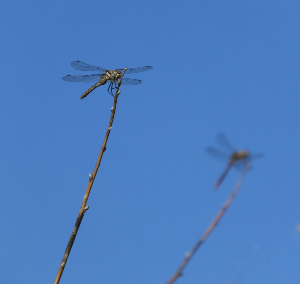 Two dragonflies sit atop of barren stems.